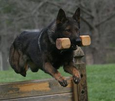 Schutzhund Phase B (Obedience) - retrieve over jump