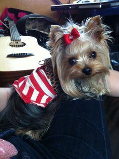 My Little Yorkie Lady http://pinterest.com/nfordzho/lovely-animals/