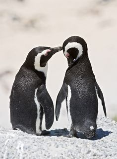 Both male and female penguins take turns caring for their eggs and chicks. |  30+ Amazing Animal Facts