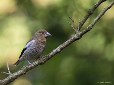 Gepind vanaf vroegevogels.vara.nl - Appelvink juveniel