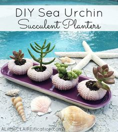 DIY Sea Urchin Succulent Planters - these mini planters are so easy to make and they are pretty much adorable!  Great for beach themed decor or weddings too.