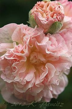 "ALCEA ROSEA aka Hollyhock This is ""Chaters Double Peaches and Cream"". Hollyhock is not a true perennial. However, it will reseed itself every year. Amazing Flowers, My Flower, Pink Flowers, Beautiful Flowers, Simply Beautiful, Hollyhock, Ikebana, Dream Garden, Beautiful Gardens"