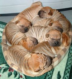 "A doggie bed full of ""wrinkles"". #cute #puppies #dogs"