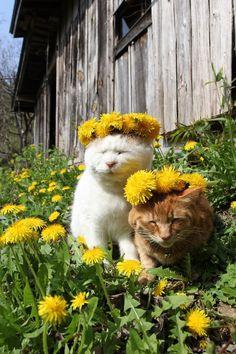 たんぽぽぼうし |のせ猫オフィシャルブログ Dandelion hats | cat official blog - Powered by Ameba