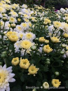 White Mums in the Garden today : read more about my Autumn Garden
