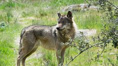 El Ministerio de Medio Ambiente se lanza a la caza del lobo español El Gobierno quiere convencer a la nueva Comisión Europea de que le permita eliminar la protección a la especie García Tejerina pone como excusa los daños a