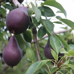 Red William pear fruit tree