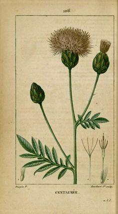 flore medicale - flore medicale - centauree grande centauree - Gravures, illustrations, dessins, images