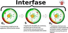 """la interfase o etapa de reposo es la primera etapa del ciclo de vida de la célula y es el momento en que la célula experimenta sus funciones celulares (mantenimiento celular) de acuerdo con las instrucciones provenientes de sus """"genes básicos."""