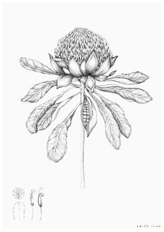 Tips On Sending The Perfect Arrangement Of Flowers – Ideas For Great Gardens Botanical Drawings, Botanical Prints, Floral Illustrations, Illustration Art, Wildflower Drawing, Illustration Botanique, Australian Native Flowers, Flower Sketches, Art Sketches
