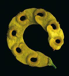 Einfach schön: die Frucht der Hufeisenwicke (Hippocrepis unisiliquosa) (Foto von: Rob Kesseler)