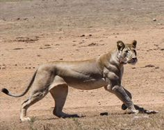 10 Most Muscular Animals Of All Times - Lion
