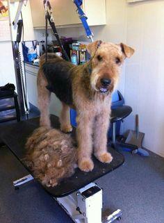 cool & clean welsh terrier!