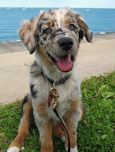 The traits I love about the Smart Australian Shepherd Pup Cute Baby Animals, Animals And Pets, Funny Animals, Cute Puppies, Cute Dogs, Dogs And Puppies, Doggies, Beautiful Dogs, Animals Beautiful