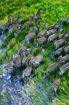 A Herd of Zebras. (http://ode-to-the-world.tumblr.com/post/37263751741/africa-is-so-beautiful )