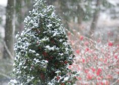 Proven Winners - Let It Snow in Garden Design Winter ColorChoice Hedges Landscapes Plants Proven Winners and Shrubs Live Christmas Trees, Christmas Tree Pictures, Bush Garden, Garden Shrubs, Holly Bush, Foundation Planting, Small White Flowers, Top Flowers, Flowers Garden