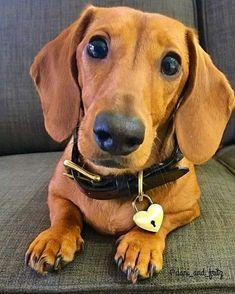 All Dog Breeds Red dachshund Dachshund Facts, Red Dachshund, Weenie Dogs, Dachshund Puppies, Cute Puppies, Cute Dogs, Daschund, Doggies, Big Dog Toys