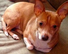 Adopted! Chuly is a 4 year old Chihuahua/ Basenji Mix who is neutered and up to date with shots.  Chuly gets along well with other dogs, but prefers not to be around children. He is affectionate with his family and loves to snuggle under the covers.Chuly is...