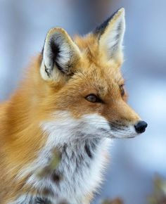Red Fox by Sarah Keates - National Geographic Your Shot