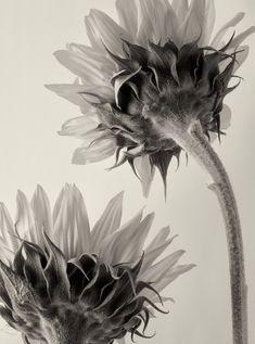 Untitled (sunflowers) by German botanical fine art photographer Karl Blossfeldt via universo paralelo Karl Blossfeldt, Botanical Drawings, Botanical Art, Botanical Illustration, Natural Form Artists, Natural Forms, Pinterest Arte, Fine Art Photography, Nature Photography