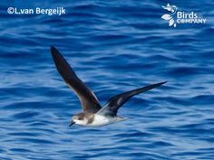 The Desertas Petrel (Pterodroma deserta) is a small seabird in the gadfly petrel genus which breeds on Bugio Island in the Desertas off Madeira.