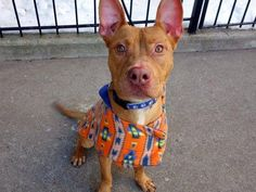 SUPER URGENT TO BE DESTROYED - 02/17/15 Manhattan Center -P My name is MILO. My Animal ID # is A1027163. I am a male red and white pit bull mix. The shelter thinks I am about 2 YEARS I came in the shelter as a STRAY on 02/04/2015 from NY 10468, owner surrender reason stated was STRAY. https://www.facebook.com/Urgentdeathrowdogs/photos/a.617942388218644.1073741870.152876678058553/957823894230490/?type=3&theater
