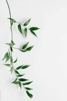 Italian Ruscus leaves on white by Kristin Duvall - Italian Ruscus, Leaf - Stocksy United Plant Aesthetic, Flower Aesthetic, White Aesthetic, Aesthetic Iphone Wallpaper, Aesthetic Wallpapers, Cute Wallpapers, Wallpaper Backgrounds, Design Patio, Italian Ruscus