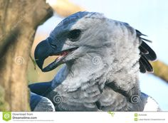 Harpy Eagle - Download From Over 53 Million High Quality Stock Photos, Images, Vectors. Sign up for FREE today. Image: 25494085