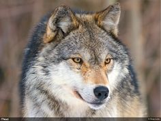 A pet wolf