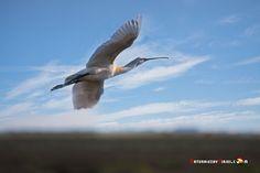 Dónde ver aves en el Algarve, Portugal - via Naturaleza y Viajes 16-01-2017 | El birdwatching, del que os hablé en este artículo que publicamos hace un par de meses, se basa en la observación y el estudio de las aves silvestres. Casi 300 especies de este grupo de vertebrados (entre rapaces, marinas, limícolas, anátidas, paseriformes y otras) se dan cita en este territorio repartidas a lo largo de todo el año. Foto: Espátula Portugal, Algarve, Bird Watching, Animals, Wild Birds, Vertebrates, Quote, Group, Studio
