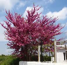 judas tree images - Google Search Judas Tree, Tree Images, Images Google, Exterior, Nature, Plants, Outdoor, Google Search, Beauty