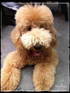 Poodle!    Like and repin please :)