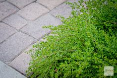 Dwarf Coyote Bush withstands high heat to maintain this brilliant green year round.