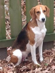 Jane is an adoptable Foxhound Dog in Lexington, MA. Jane is a pretty American Foxhound. She's a sweet girl who has already been in foster care in North Carolina for several months. She's used to livi...