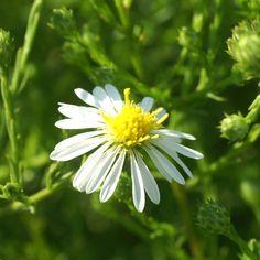 ASTER datschii (Aster d'automne) : Genre infiniment varié, de grande valeur ornementale et de culture très facile, dont les floraisons s'étalent du printemps à l'automne. Touffes vigoureuses, buissonnantes. Abondante floraison tardive, blanche, légère.