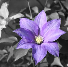 "Desaturating the color behind the clematis in Lightroom allows me to ""paint"" the flower back in"