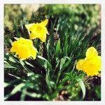 Bon dimanche ensoleillé! #quebec #printemps #fleurs #flowers #nature #beauty #jaune #yellow