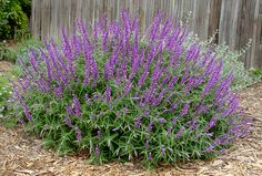 Salvia leucantha ~ velvety purple flower spikes cover gray-green shrubs from late summer into spring in mild-winter climates (bloom stops with frost in colder regions). 3 - 4 ft tall and 4 - 6 ft wide