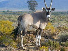 Wild Animals Game Lodge, National Animal, Impala, Wild Animals, Goats, Cape, Africa, Horses, Viajes