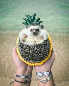Pokee the Hedgehog ✧ A L O H A prickly pineapple [^] – Mr.Pokee the Hedgeho… – Karo Luelf - Baby Animals Baby Animals Super Cute, Cute Little Animals, Little Pets, Cute Funny Animals, Baby Animals Pictures, Cute Animal Photos, Funny Animal Pictures, Hedgehog Pet, Cute Hedgehog