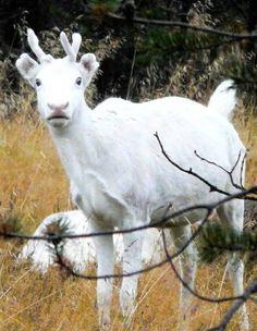 Rentier in Finnland Goats, Animals, Reindeer, Finland, Animales, Animaux, Animal, Animais, Goat