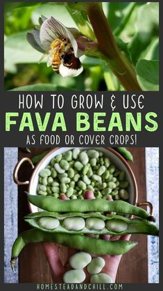 """Fava beans, or """"broad beans"""", are hardy annual plants that are delicious, versatile, beneficial, and easy-to-grow! Part of the legume family, fava beans fix nitrogen and enrich soil. Furthermore, the entire plant is edible! Come learn how to grow, eat, preserve, and mulch with fava beans! Backyard Vegetable Gardens, Fruit Garden, Green Garden, Edible Garden, Garden Plants, Shade Perennials, Shade Plants, Organic Vegetables, Growing Vegetables"""