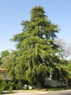 Deodar Cedar Tree Garden Trees, Trees To Plant, Garden Plants, Cedar Trees, Evergreen Trees, Cedrus Deodara, Northern White Cedar, Organic Mulch, Specimen Trees