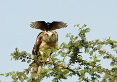 Орёл и ворона