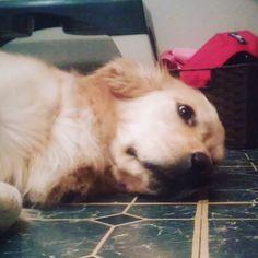 day camps got me like ... #zombie #zzz #zzzpets #bestwoof #topdogphoto #mydogiscutest #gloriousgoldens #world4pets #dogsofinstagram #ilovegolden_retrievers #ilovemydog #kennychesney #rufflife #thedailydog #dogs #dog #doglover #loveher #pets #pet #petstagram #dogstagram #dogsofig #petsofinstagram #golden #goldens #goldenretriever #photooftheday #furbaby #woof by chesneythebaby