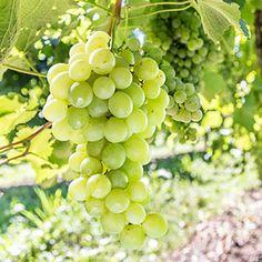 Himrod White Grapevine - Parkseed.com - $19.95 for 1 quart and 1 plant - Full sun; seedless; good for raisins;