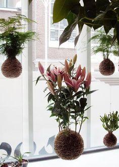 Kokedamas Mexico Plantas en bola de musgo. Lilium suspendido en una bola de musgo tierra y arcilla y recubierta de musgo.