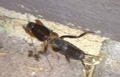 Mole Cricket, Sandgroper  Scary looking things!