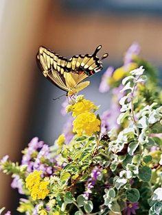 ...seeing butterflies enjoying my garden