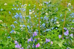 Conclusions on my wildflower patch   Sarah Raven Blog